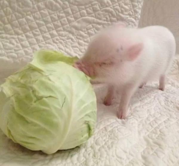 抖音小猪拱白菜情侣头像分享